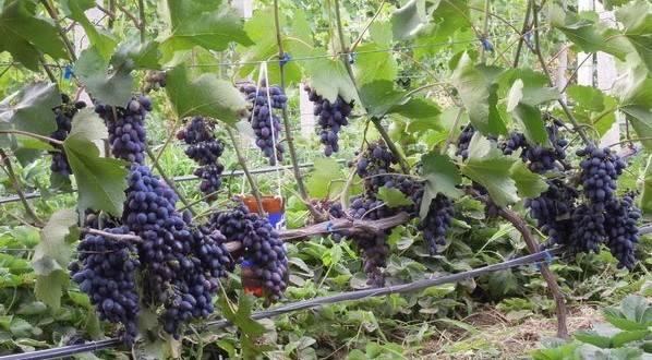 Виноград кодрянка: описание раннего сорта, особенности правильного выращивания и ухода