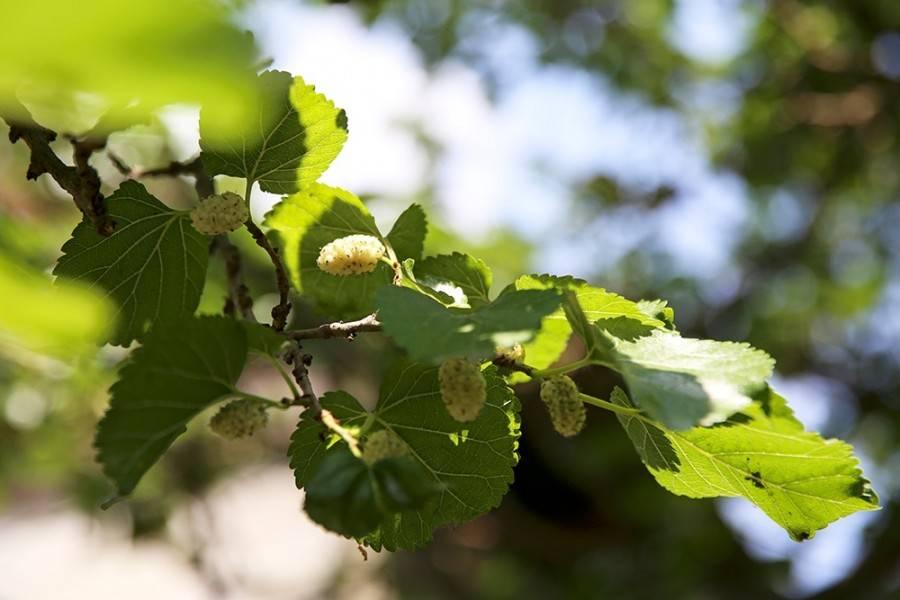 Шелковица: посадка, выращивание и уход, видео