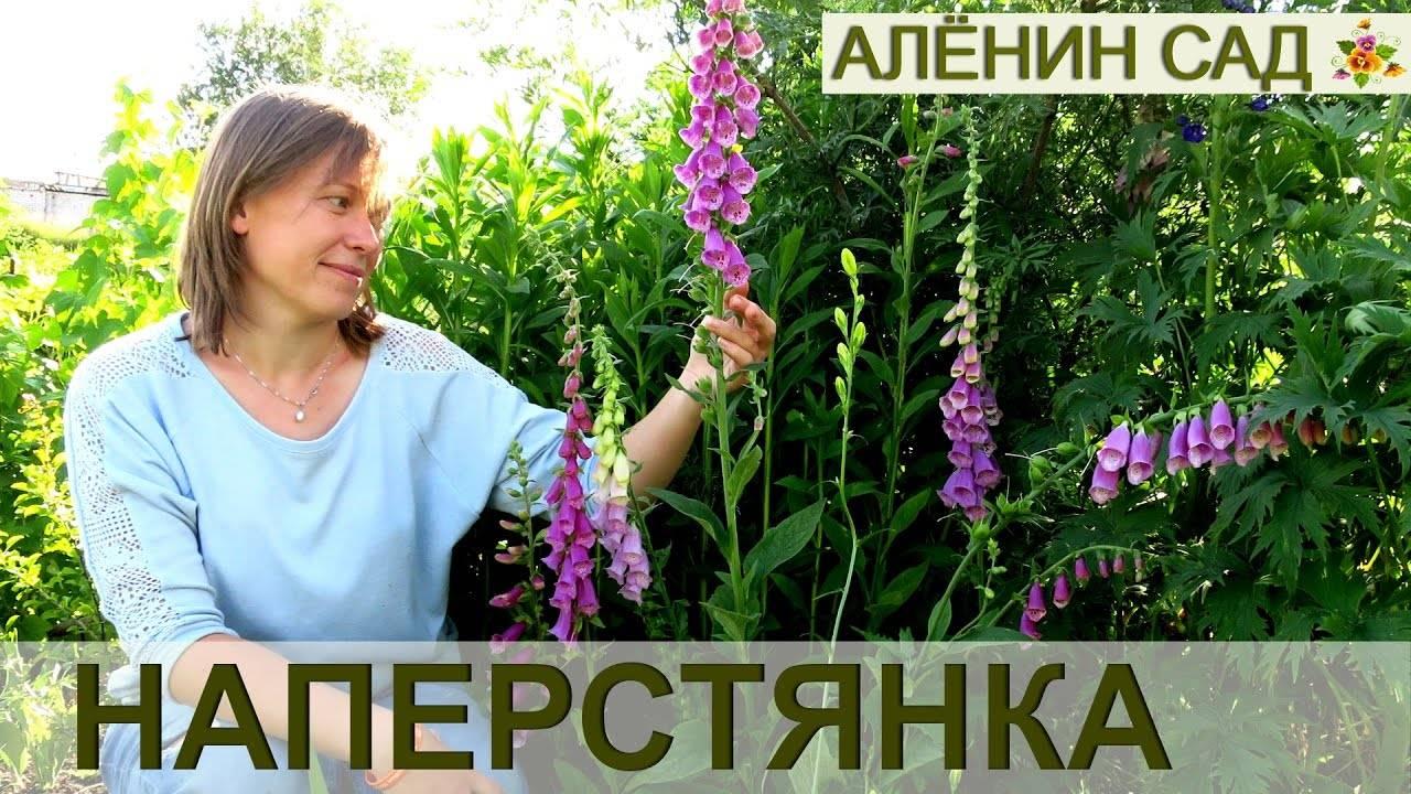 Наперстянка: фото, выращивание из семян, посадка и уход
