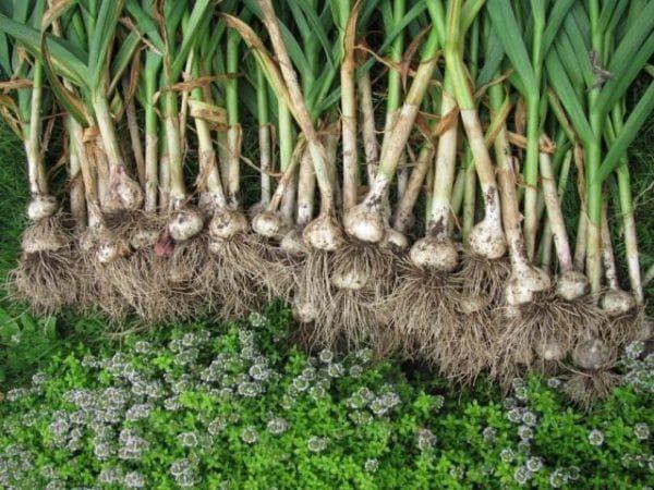 Зимний чеснок: особенности получения хорошего урожая