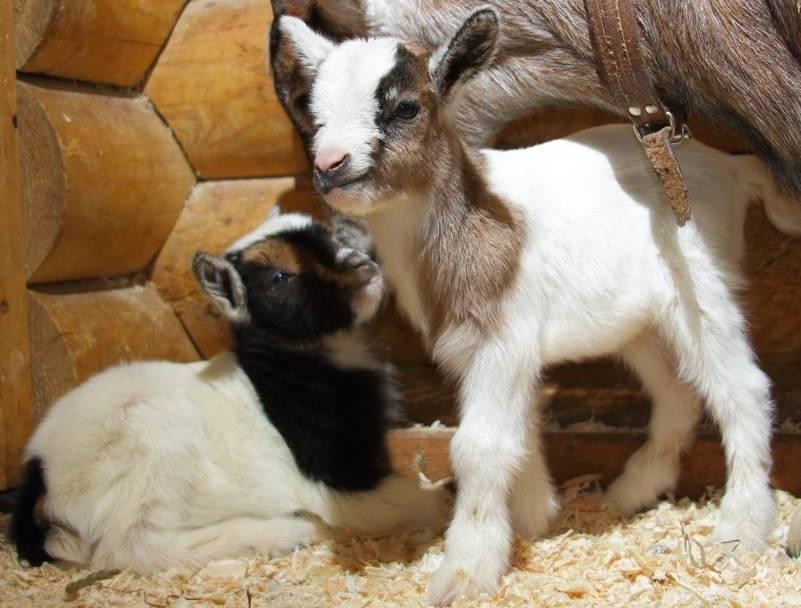 Камерунские карликовые козы - фото, отзывы о породе, содержание и разведение камерунская мини-коза — идеальный друг и кормилец. описание породы, содержание и уход