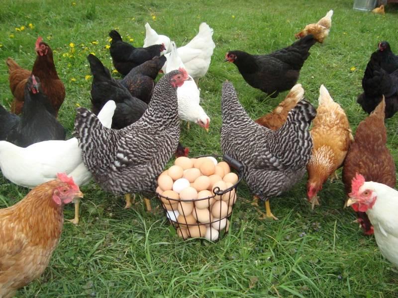 Правила кормления кур несушек для получения максимума яиц