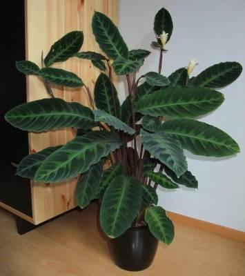 Правила ухода за цветком calathea в домашних условиях, особенности пересадки и размножения