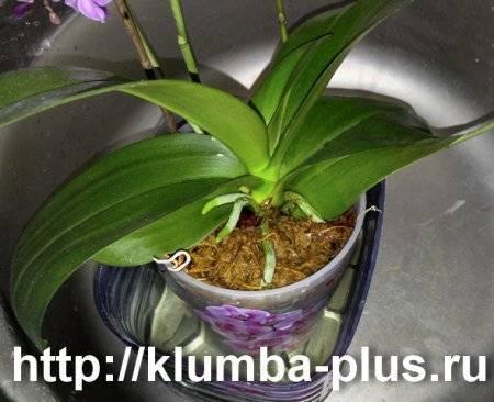 Как поливать орхидею: нужно ли цветку орошение, как надо правильно это делать, как часто увлажнять, сколько раз в неделю, чем можно и инструкция по процедуре, фото русский фермер