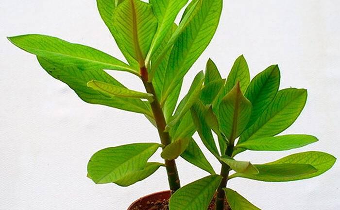Синадениум гранта: уход в домашних условиях, размножение, выращивание