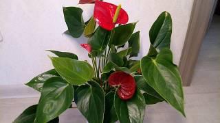 Почему антуриум не цветет в домашних условиях