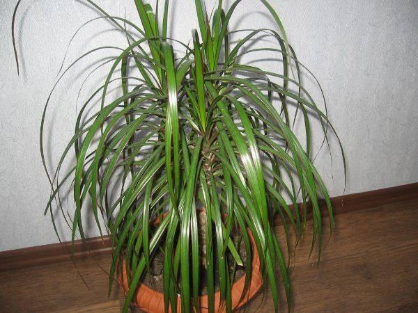 Драцена маргината: описание и уход