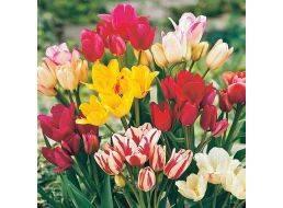 Сорта и выращивание красных тюльпанов