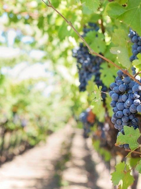 In vino veritas. как вино россии в этом году станет сельскохозяйственным продуктом? | капитал страны