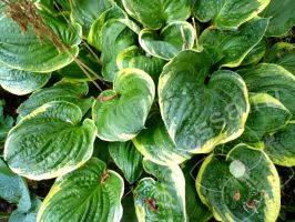 Хоста: уход весной, летом и осенью и посадка в открытый грунт - выращивание из семян, фото цветка