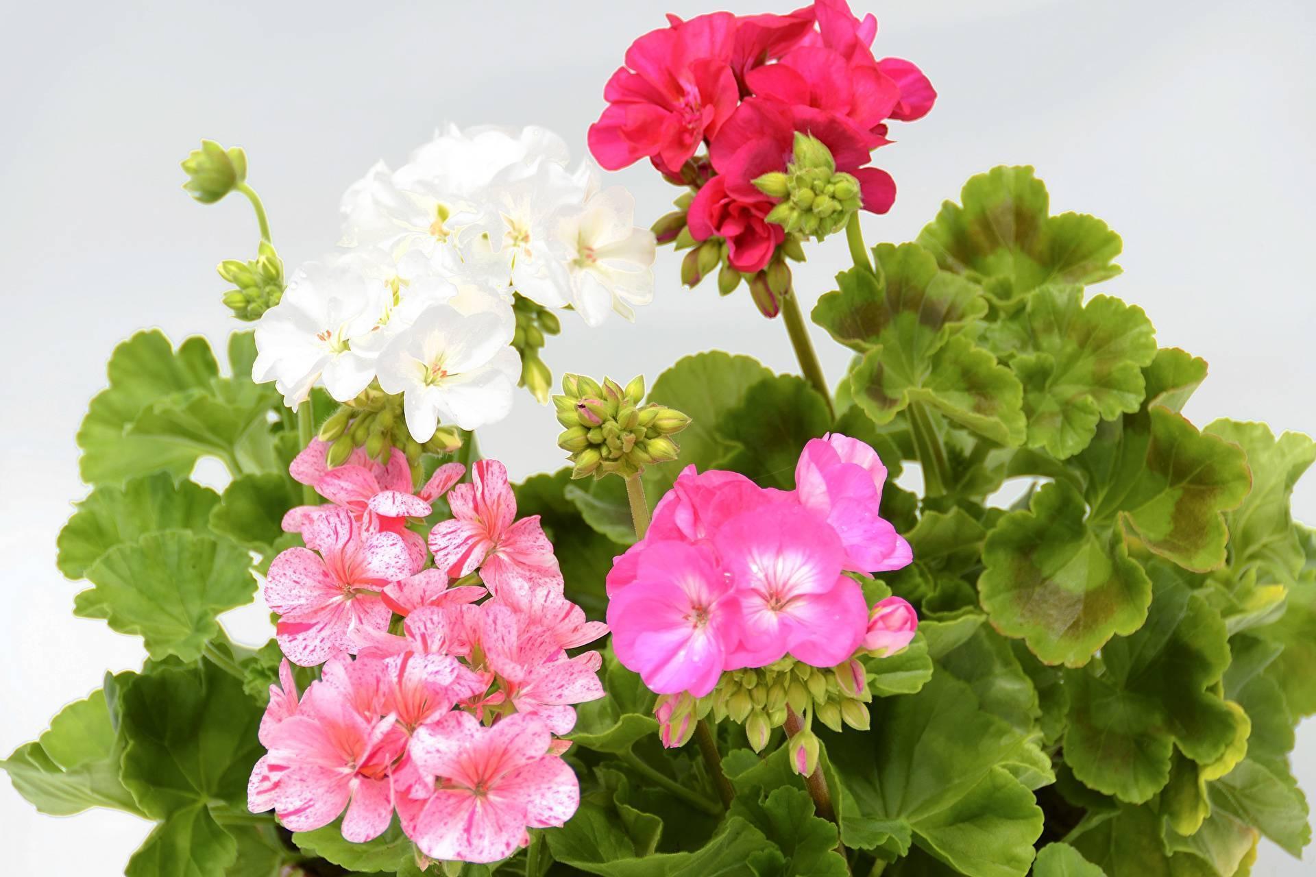 Почему не цветет пеларгония королевская, а дает только листву в домашних условиях: что делать для правильного уходи и как заставить растение распуститься?дача эксперт