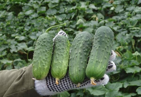 Огурцы для теплицы из поликарбоната — лучшие самые ранние и урожайные сорта