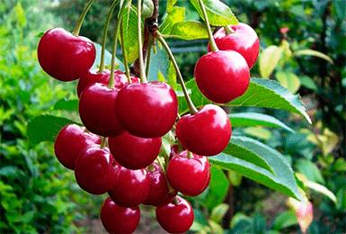 Вишня жуковская — описание сорта, фото, отзывы садоводов