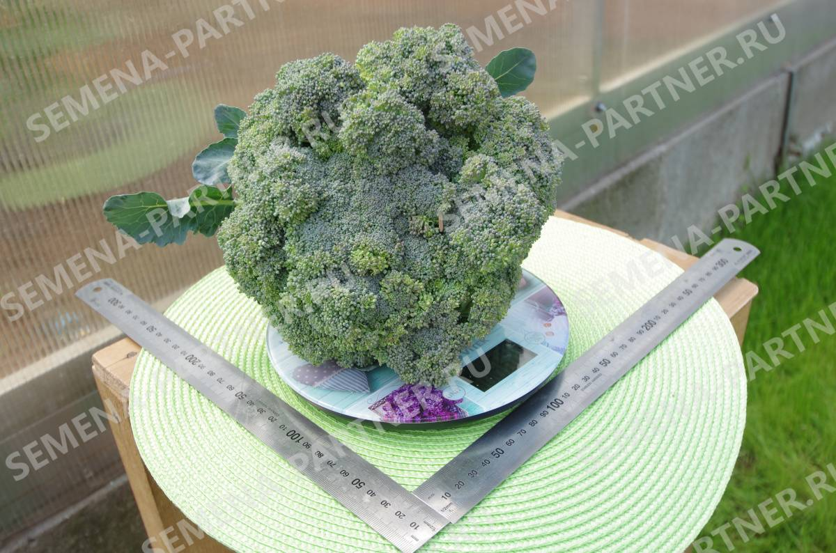 Брокколи: сорта капусты для сибири, средней полосы – лучшие разновидности