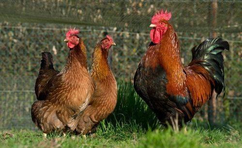 Порода кур вельзумер: описание, продуктивность, содержание и уход, достоинства и недостатки