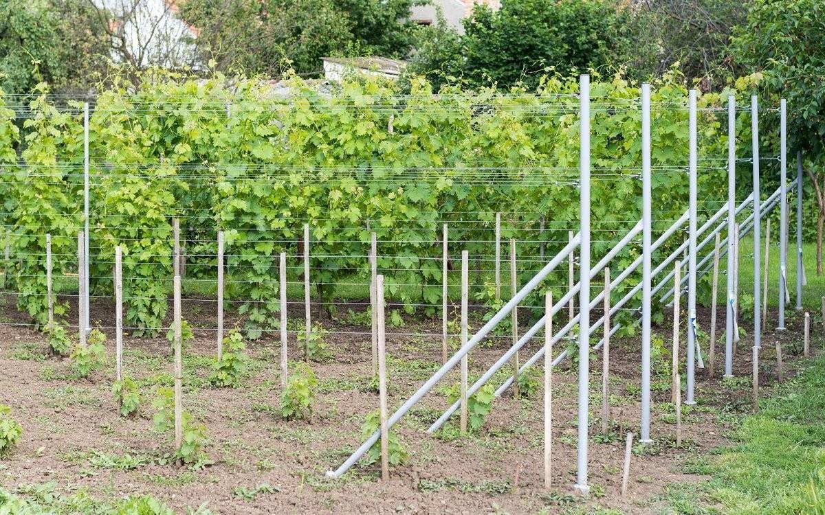 Как правильно посадить виноград: когда сажать виноград, особенности и правила посадки, полезные советы