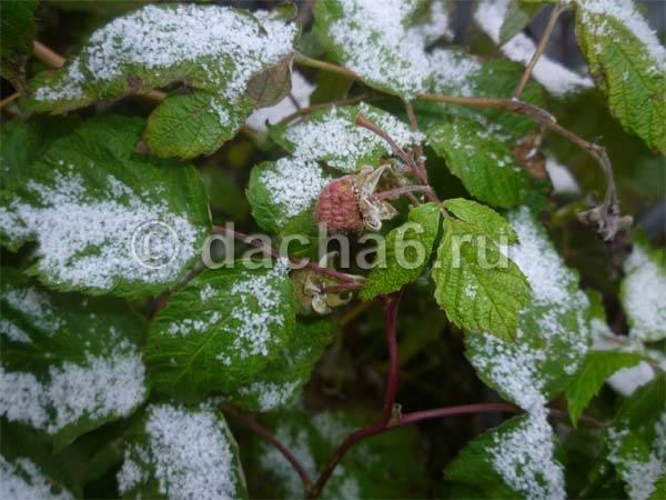 Уход за малиной осенью: подготовка к зиме
