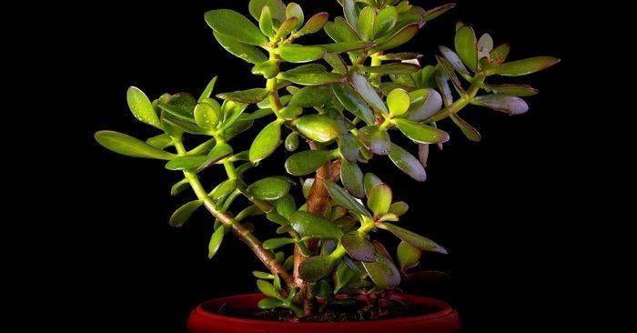 Почему опадают листья у денежного дерева и как спасти толстянку, что делать если осыпается крассула и причины опадания