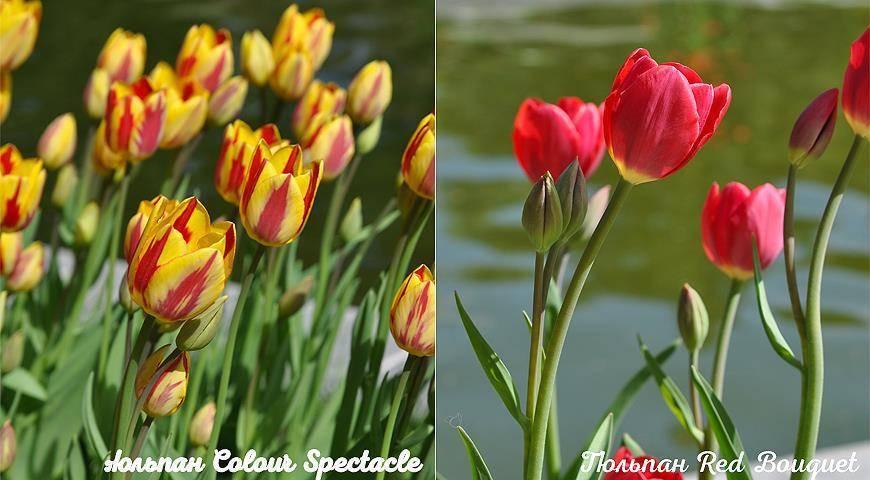 Кустовые тюльпаны: интересные сорта, 5 правил посадки и особенности ухода