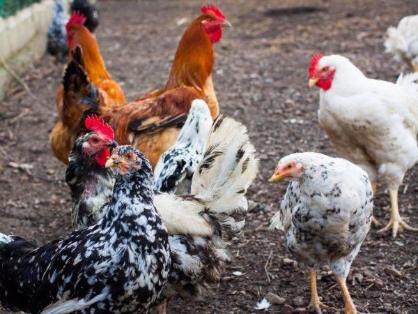 Ленинградская ситцевая курица: описание породы, фото, уход и кормление
