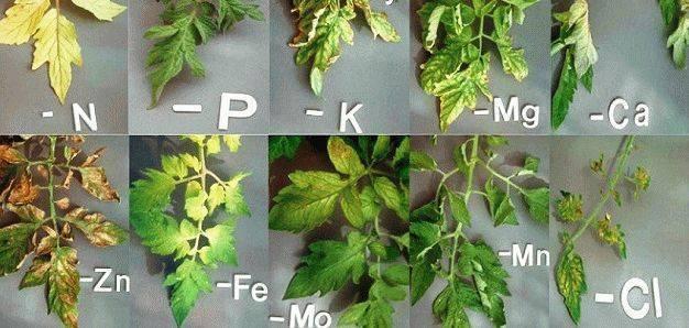 Как определить болезни на рассаде томатов в теплице: «птичий глаз», «серая гниль» и пятнистость — agroxxi