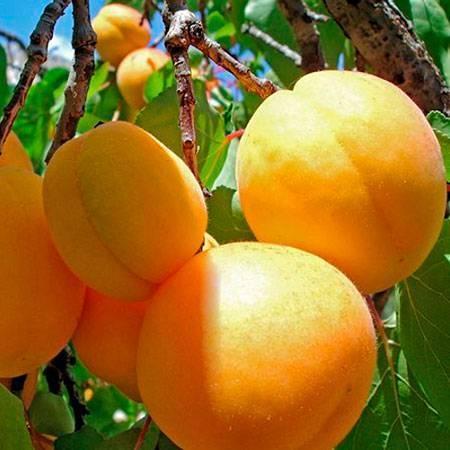 Абрикос персиковый: описание сорта, фото, посадка и уход