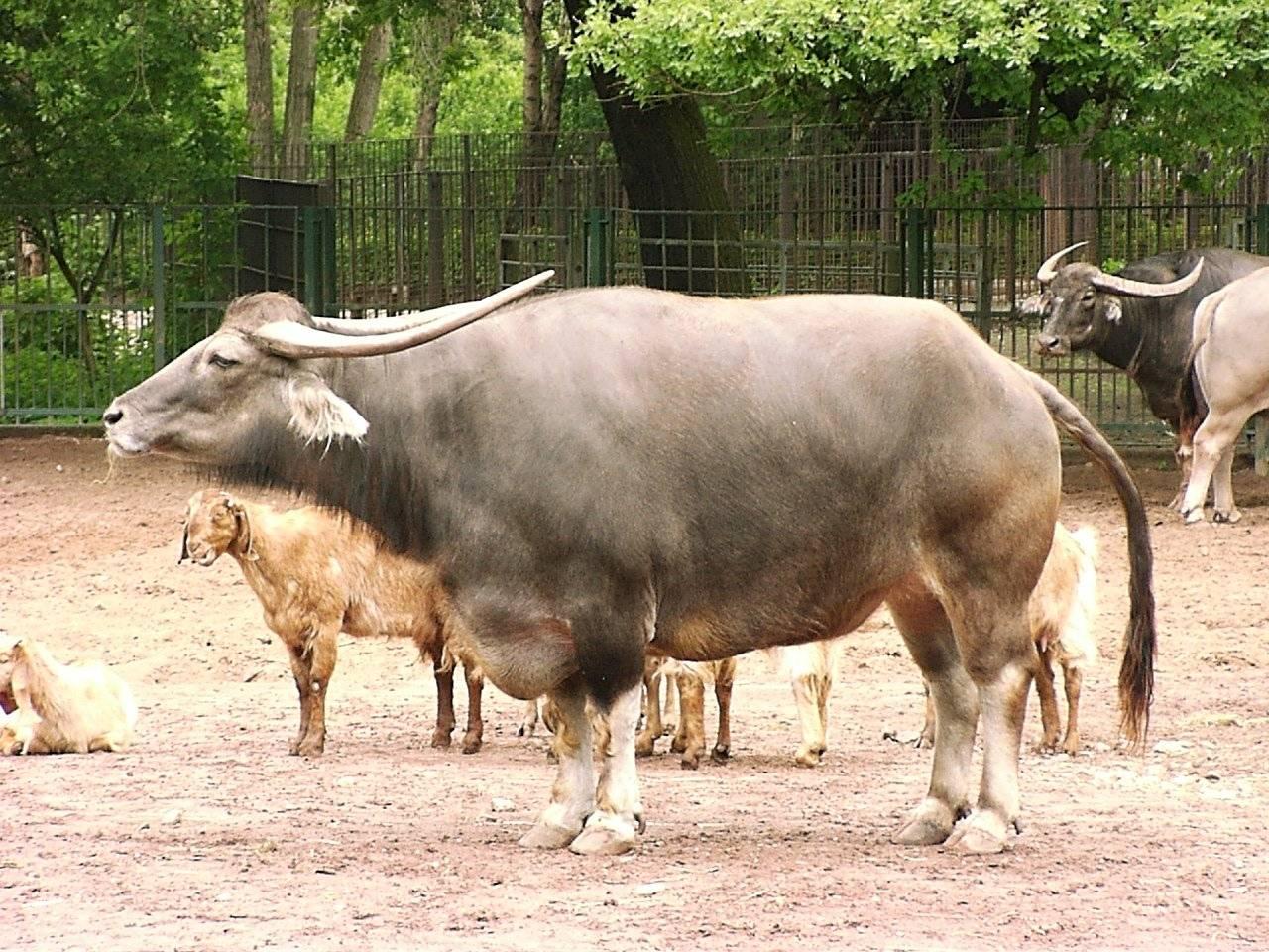 Азиатский (индийский водяной) буйвол — описание, фото, где обитает, чем питается