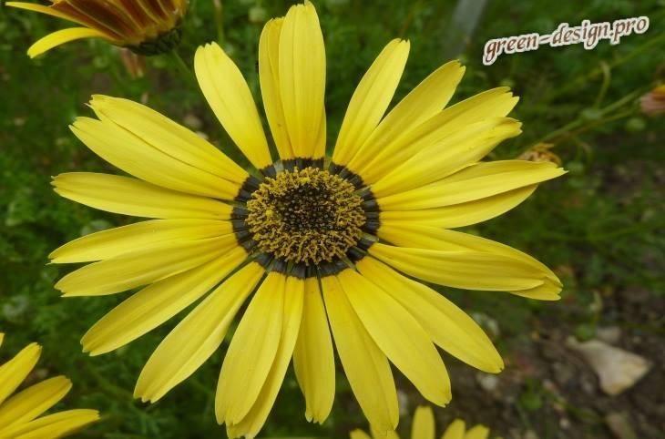 Урсиния: фото цветка, выращивание из семян, посадка, уход