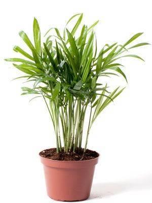 Пальма хамедорея – описание, размножение, пересадка и уход в домашних условиях (30 фото & видео) +отзывы