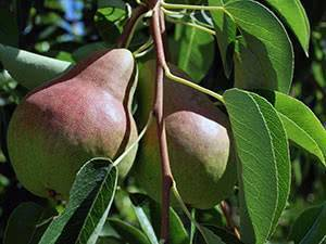 Как правильно посадить грушу весной: пошаговое руководство