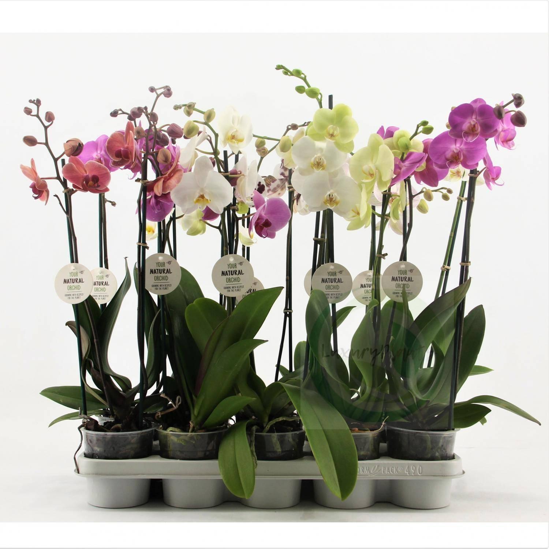Миниатюрная орхидея фаленопсис: уход в домашних условиях