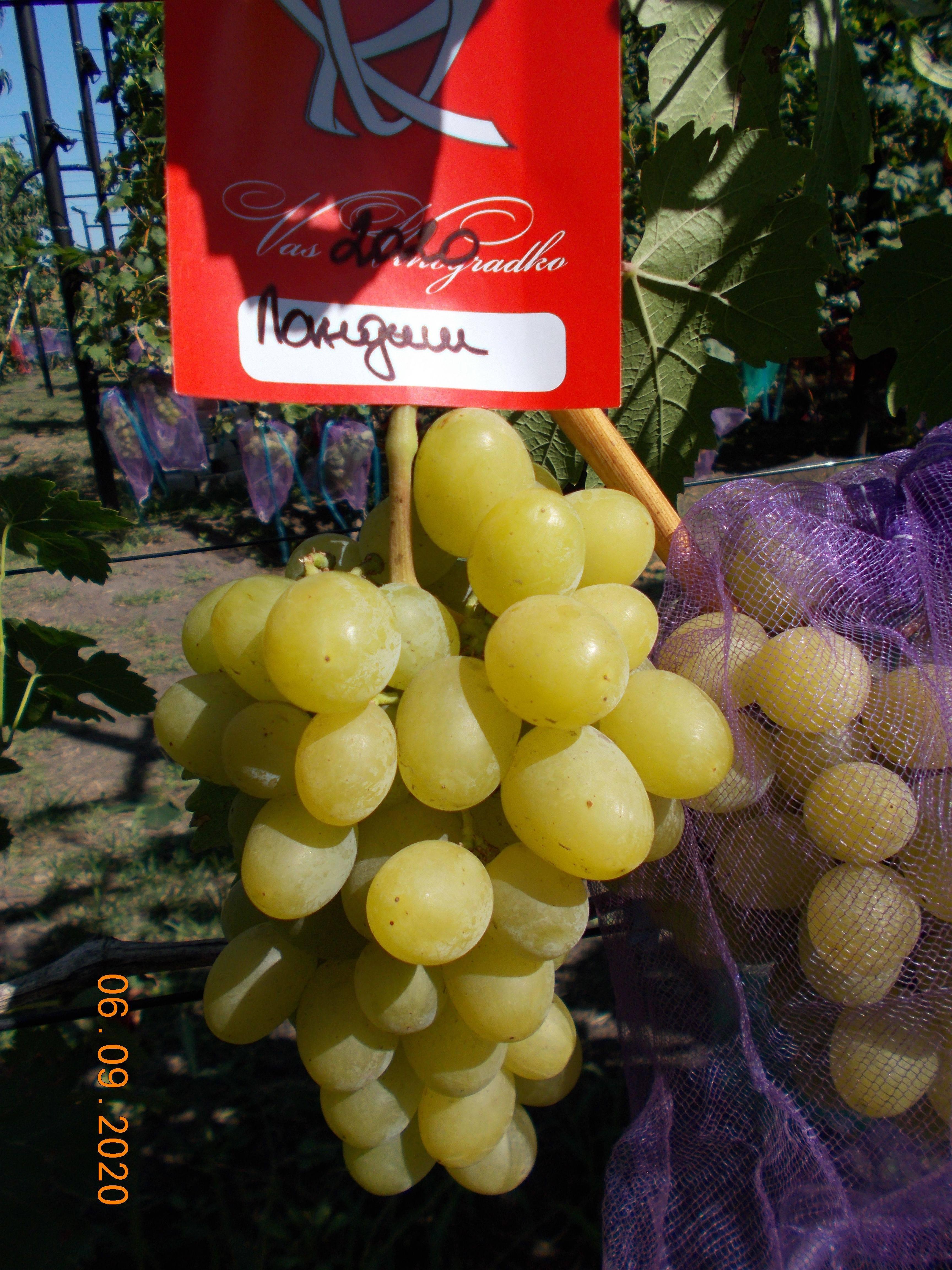 Виноград ландыш, описание сорта