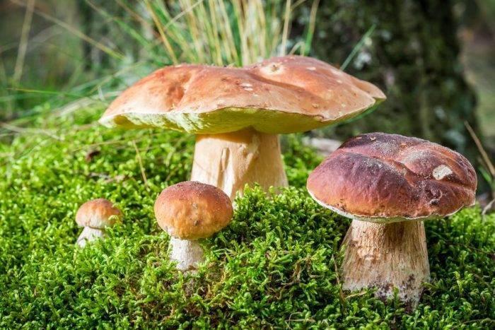 Ложный моховик: фото и описание гриба, как отличить от съедобного