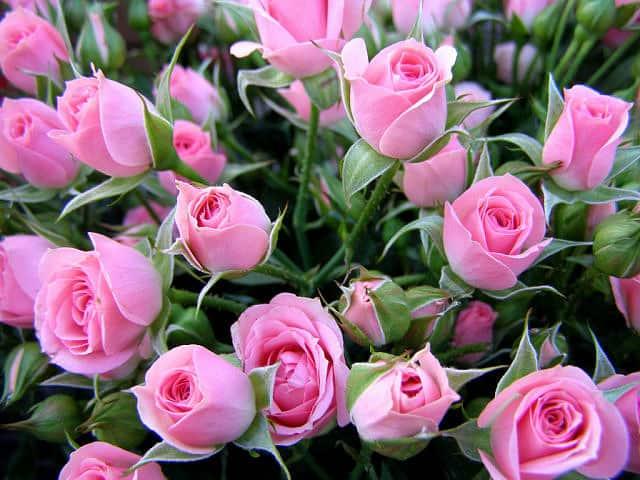 Нужно ли обрезать листья у розы на зиму. розы: надо ли обрезать их на зиму и как это сделать?