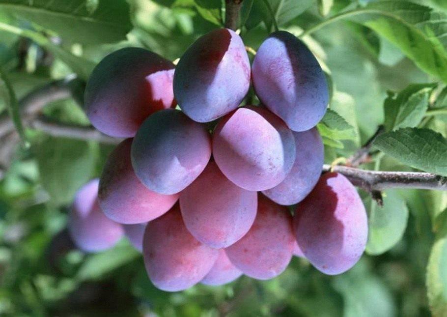 Выращивание синей сливы яичная