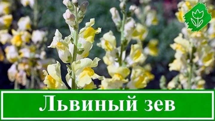 Цветок львиный зев: выращивание древнегреческой красоты на участке посадка и уход за львиным зевом