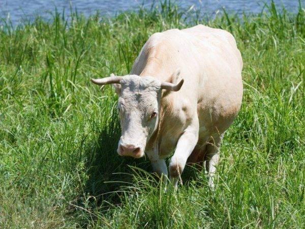 Сколько времени ходит беременной корова