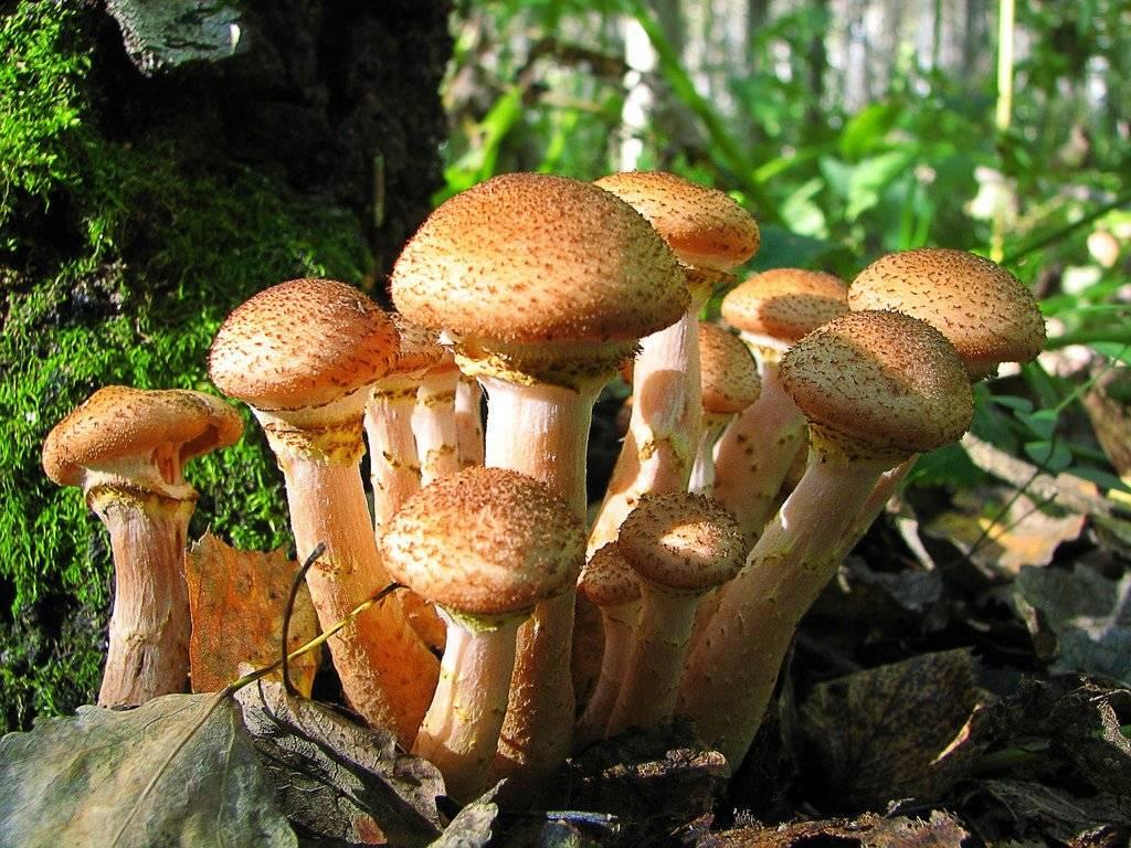 Когда пойдут опята в подмосковье в 2021 году: сроки сбора весенних, летний и осенних грибов, грибные места и направления