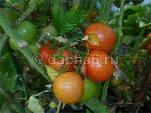 Какая температура грунта нужна для помидоров: закаливание рассады, оптимальный режим