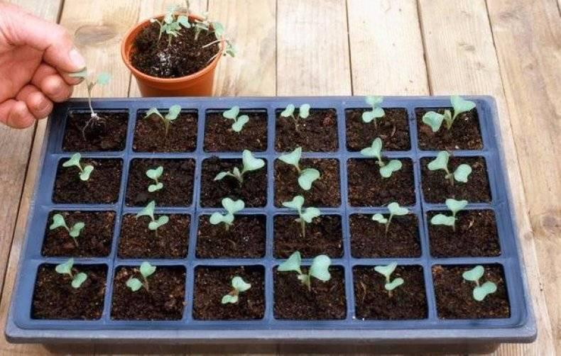 Выращивание рассады капусты в домашних условиях пошагово с фото видео