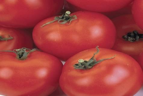 Томат никола: описание и характеристика сорта, фото, отзывы, урожайность