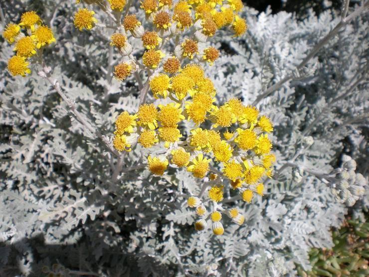 Цинерария: описание, фото, посадка и уход в открытом грунте