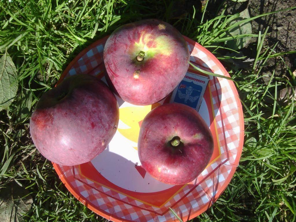 Яблоня спартан:  посадка, фото и описание сорта, отзывы