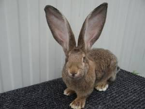Кролики голден ризен — особенности разведения в домашних условиях