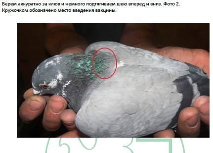 Ласота для голубей и птиц: описание, инструкция, дозы