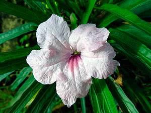 Цветок руэллия или диптеракантус: фото и посадка, уход в домашних условиях, экзотичные цветы