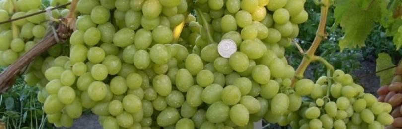 Виноград аркадия: описание сорта, фото, отзывы садоводов, видео