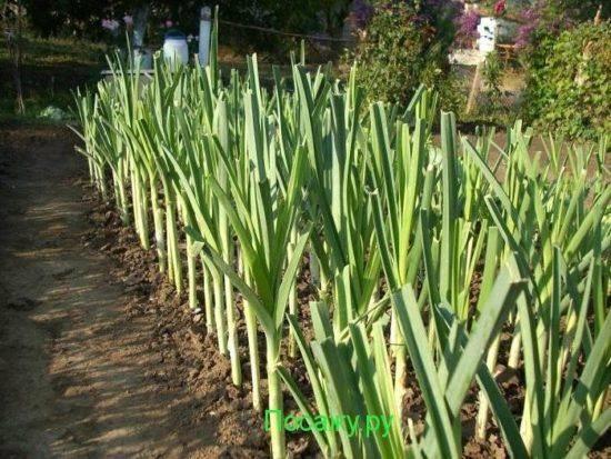 Лук-порей: выращивание и уход в открытом грунте, когда сеять на рассаду и высаживать, посадка семян в сибири, сорта, инструкция в видео