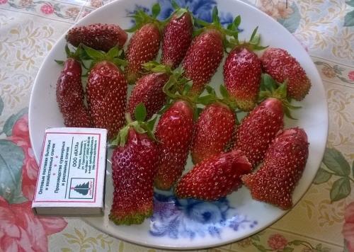 Земклуника купчиха — гибрид двух ягодных культур на вашей грядке
