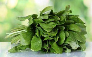 Щавель — особенности выращивания и лучшие сорта витаминной зелени. фото — ботаничка.ru